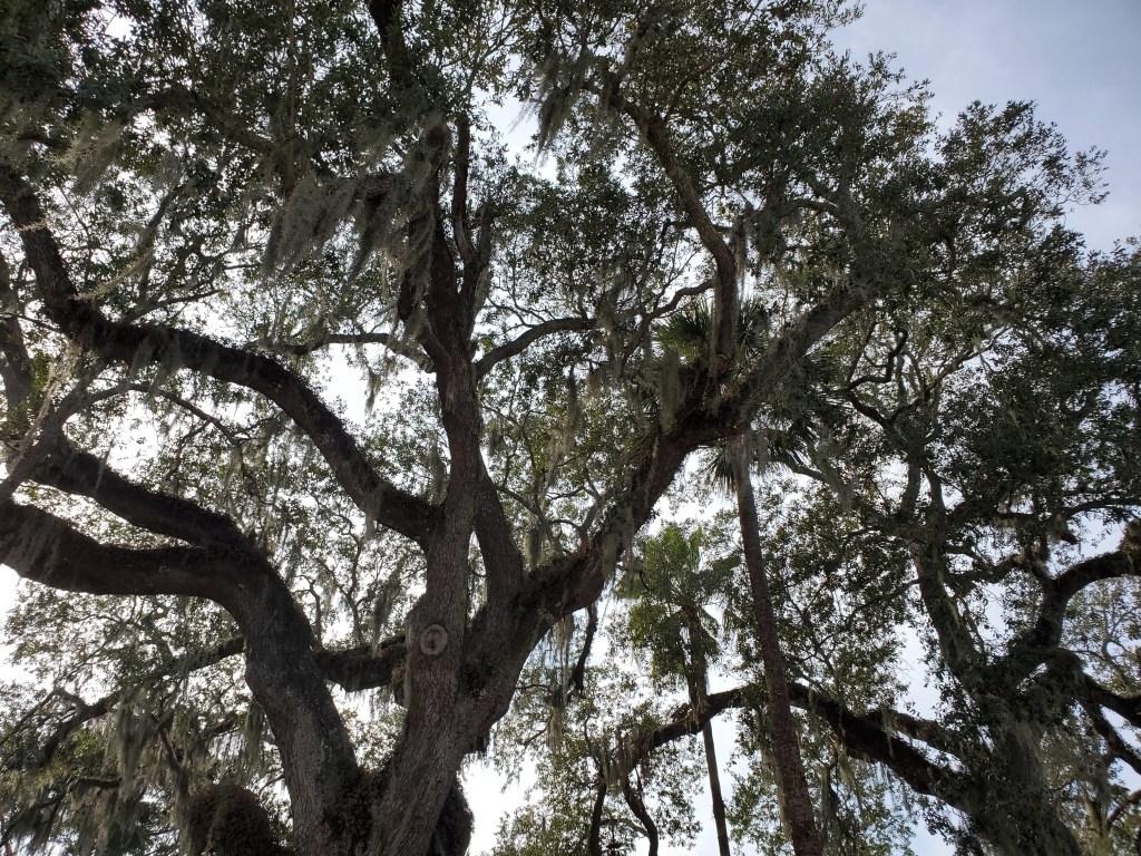 Beautiful oak trees with spanish moss